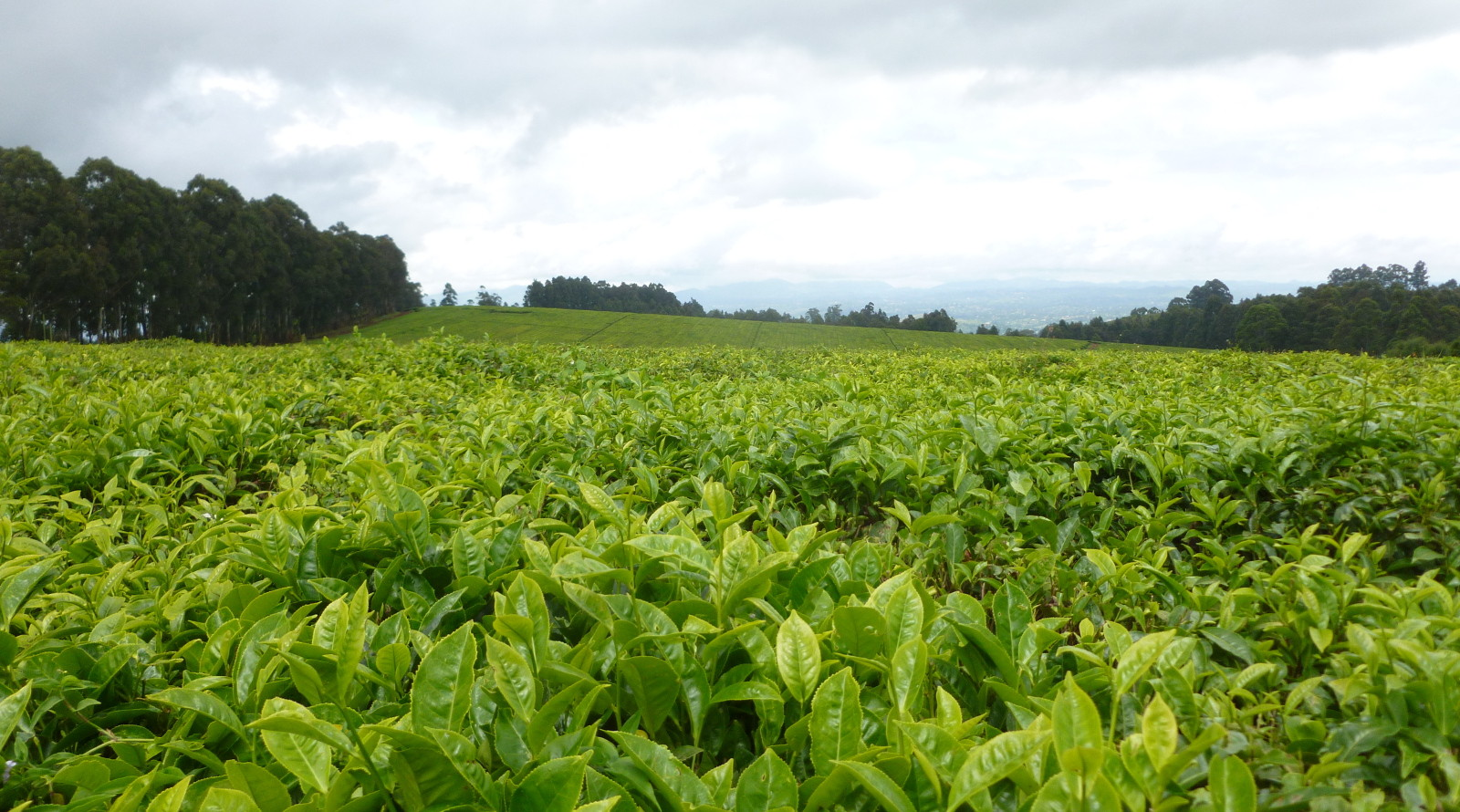 Le Malawi, jardin d'Eden des thés africains