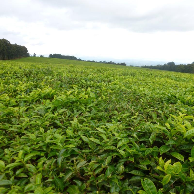 Les thés du Rwanda